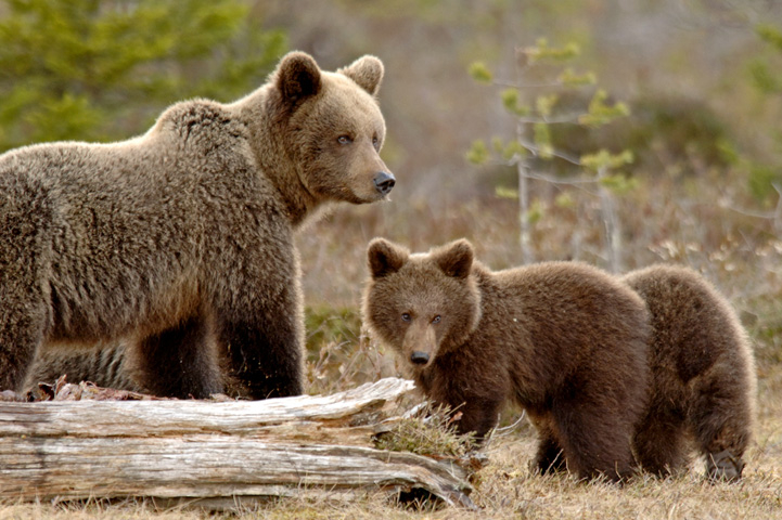 Mother bear with two cubs in front of her.