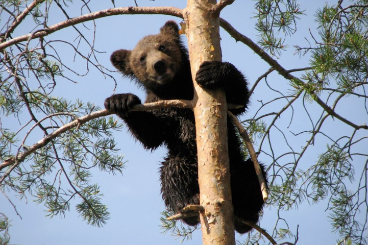 Bear cub is in a tree and it is peaking behind a branch.