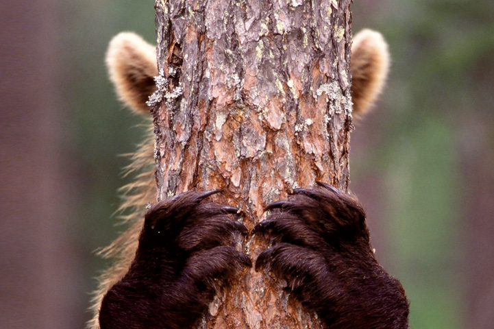 A bear is hiding behind a tree, only ears and front paws are seen.