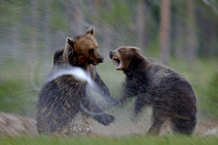 Two bears are fighting on mire, water spills.