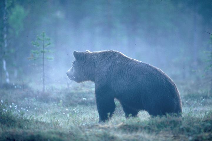 A bear in a misty swamp.