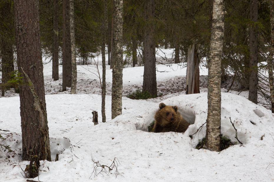 Waking up from the winter nest. The bear peeks out of the hole of a snow mound in the middle of the birches.
