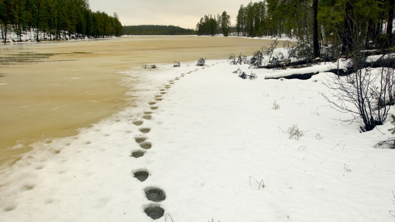 Bear's footprints on wet ice.