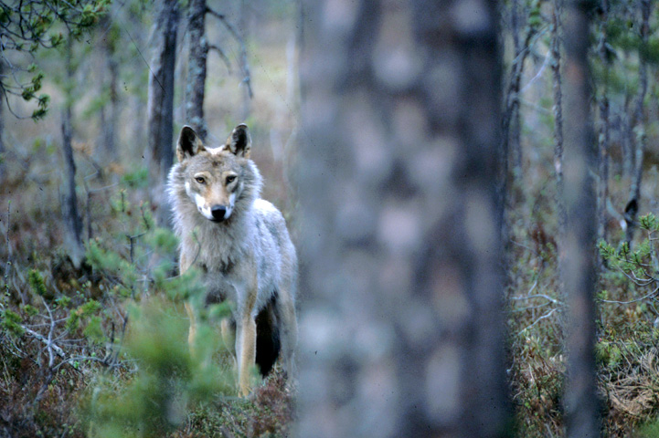 Wolf in a forest.