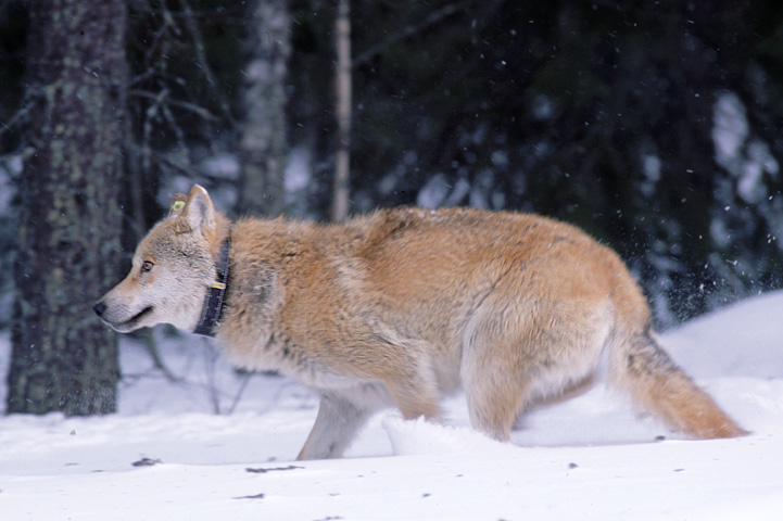 GPS-collared wolf runs in snow.