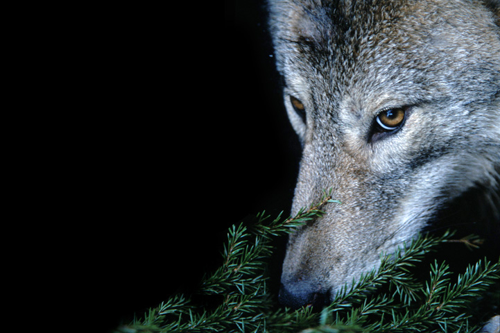 A collared wolf named Sirius smelling twigs.