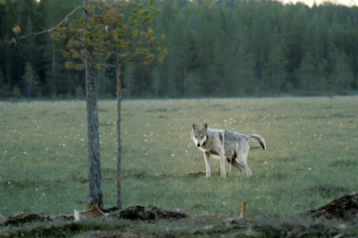 Wolf urinates at a swamp.
