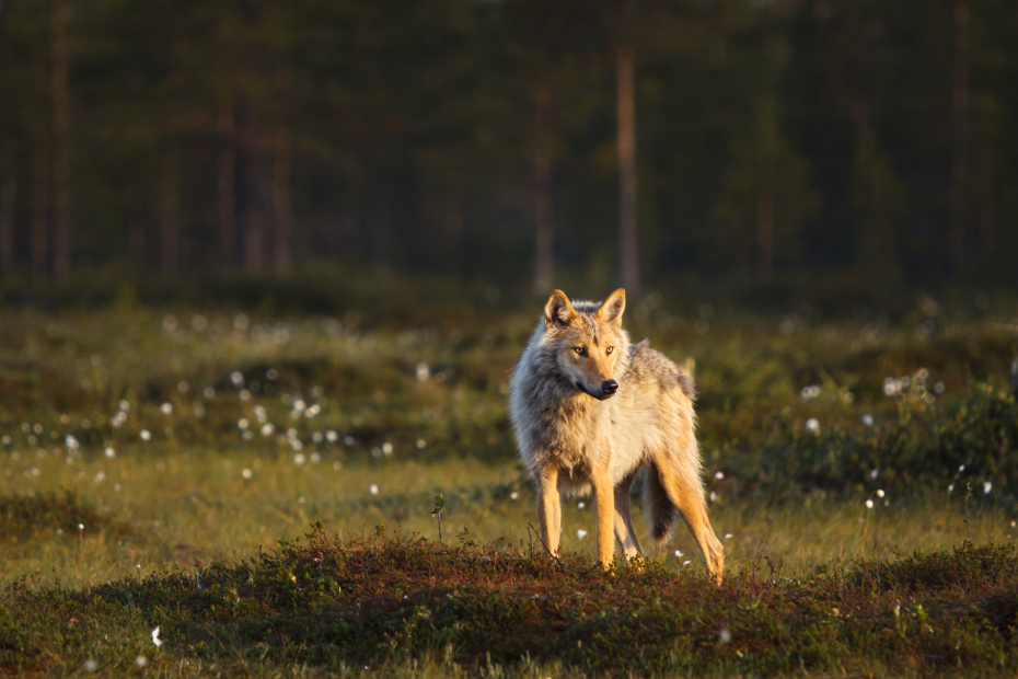A wolf stands in the evening sun on a swamp.