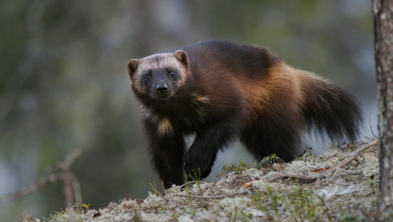A wolverine stands in the lichen and looks towards the photographer.