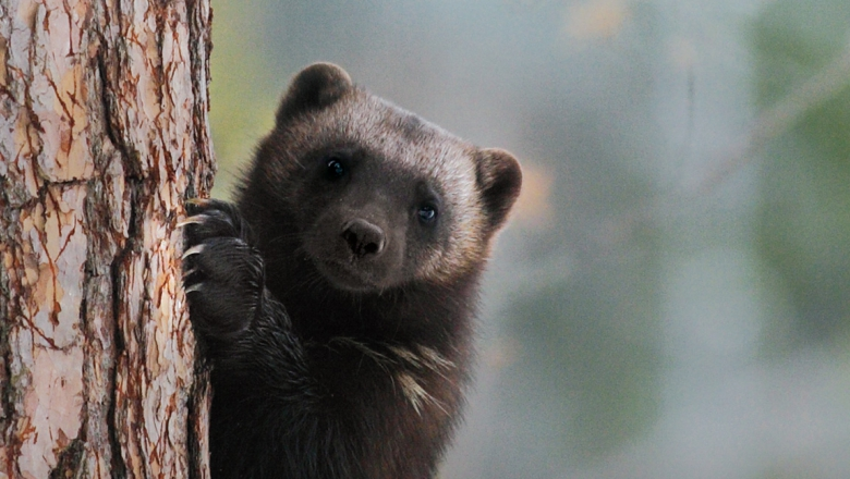 A close-up of a wolverine on a tree trunk. Nails grabbing the bark of a tree.