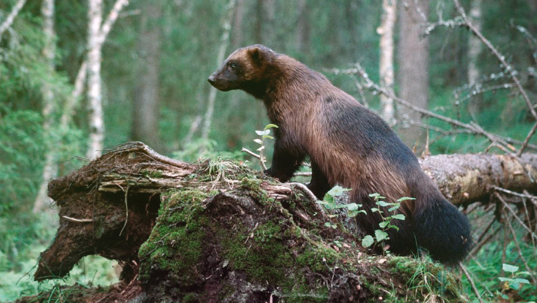 A wolverine stands and observes on a fallen tree trunk.