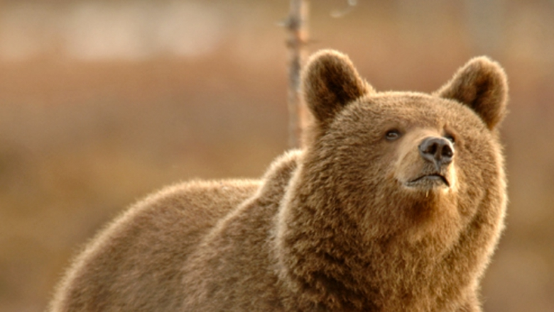 Bear is the biggest predator in Europe. In the picture the bear looks upwards.