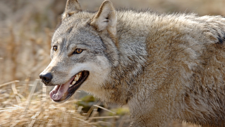 Close up of a wolf. Burnt hay in the background.
