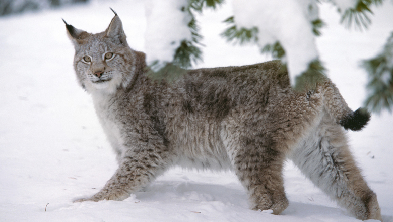 A lynx in winter coat.