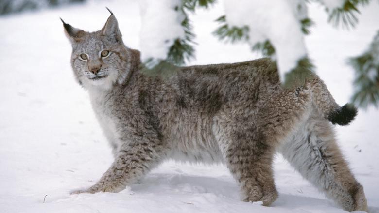 A lynx in winter coat.