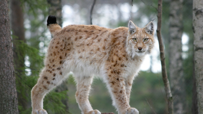 A lynx in summer coat in the midst of trees.