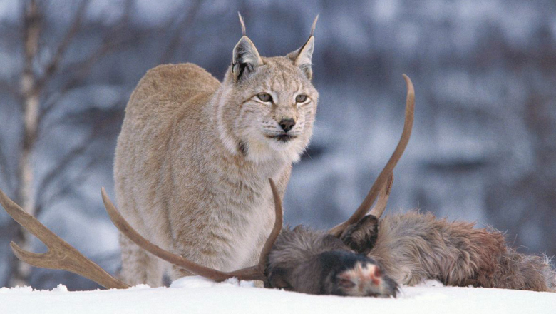 A lynx and its prey from the deer family.