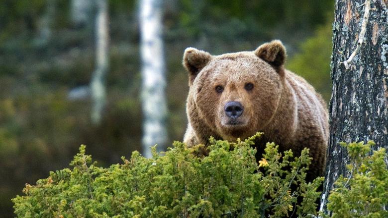 Bear is lurking behind a juniper.