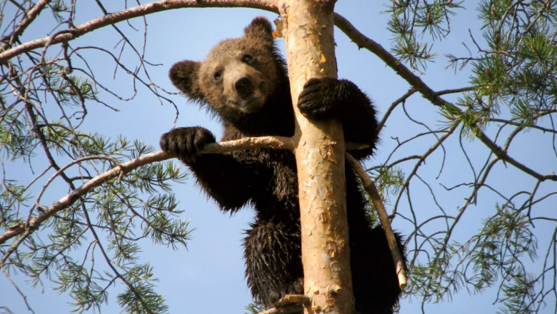 A bear cub in a pine tree, holding the trunk with one foreleg, the other on a branch.