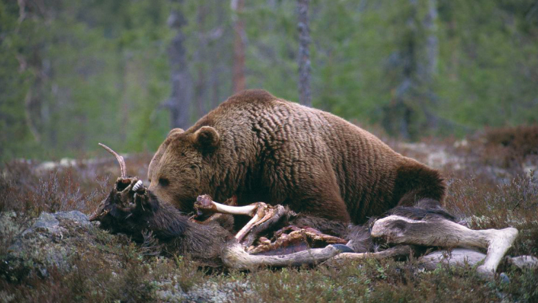 The bear lies on top of the wasteland and eats it.