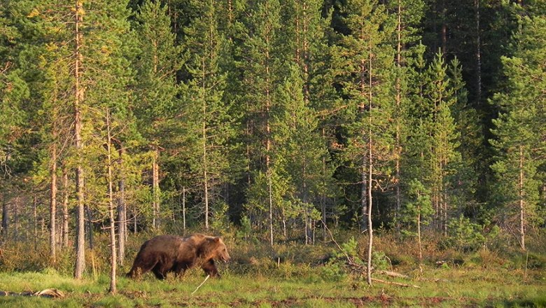 The bear walks in the evening sun at the edge of the forest.