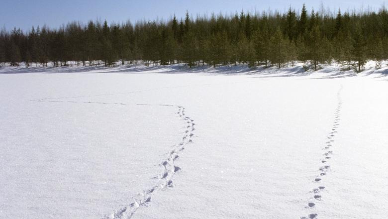 Wolf tracks on snow