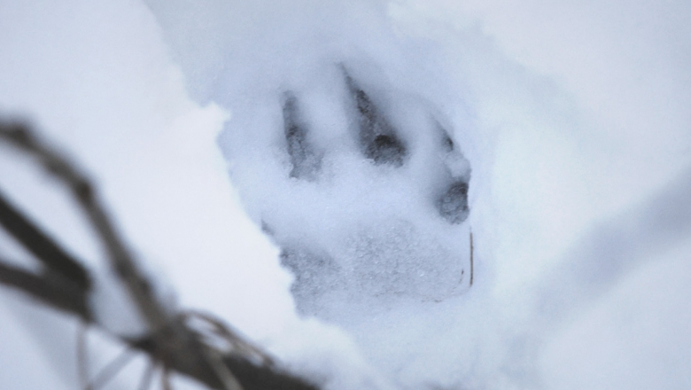Wolf track on snow.
