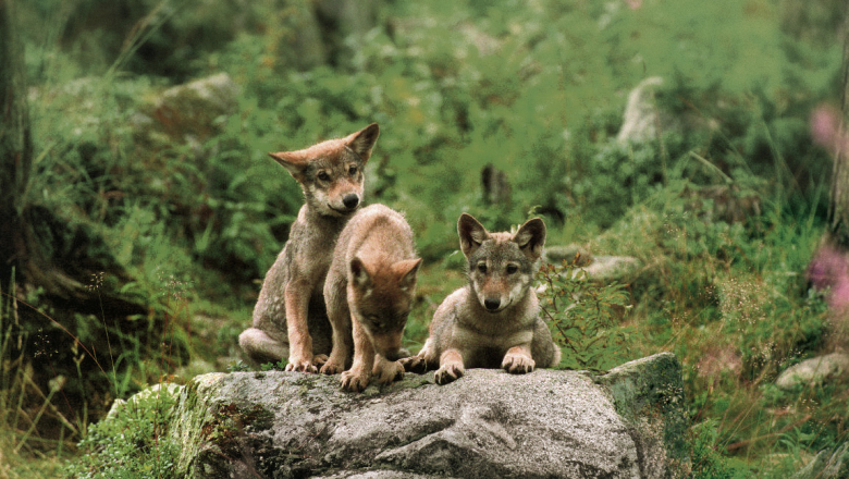 Three wolf cubs sitting on a rock.