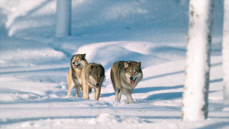 Pack of three wolves on snow.