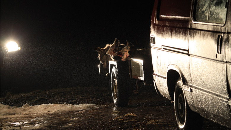 Three killed wolves in a trailer.