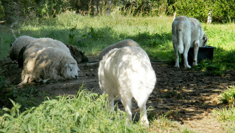 Three sheep lying on the grass. Two herd guard dogs are standing by them.