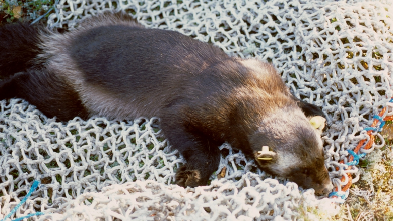 A tranquilised wolverine lies on its stomach on top of a net on a bed of moss.